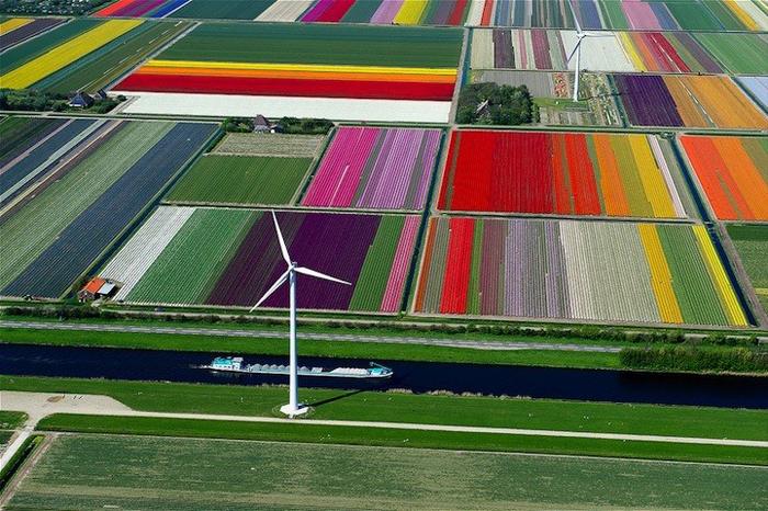 campo_tulipas