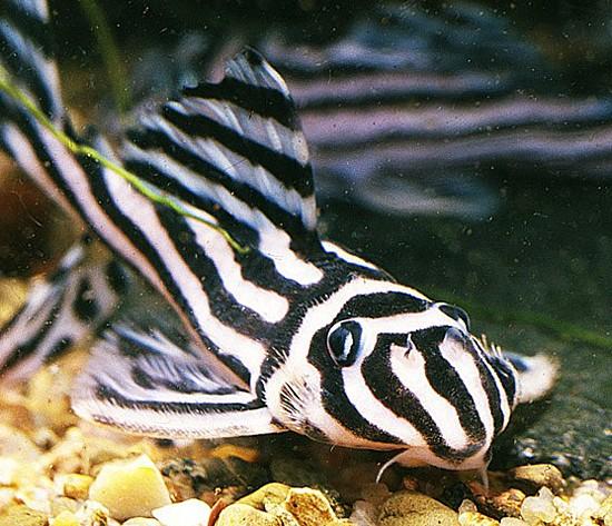 peixes_ornamentais