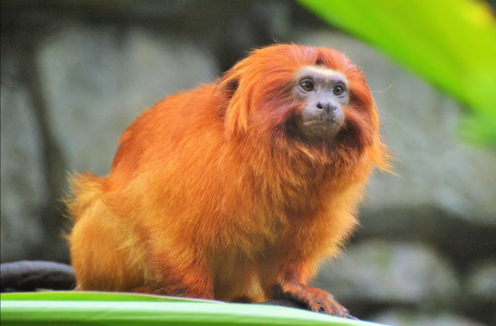 mico_leao_dourado