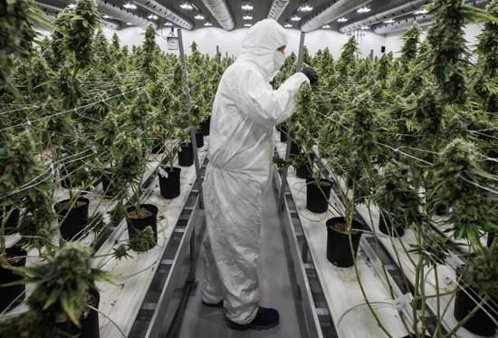 cannabis_peru